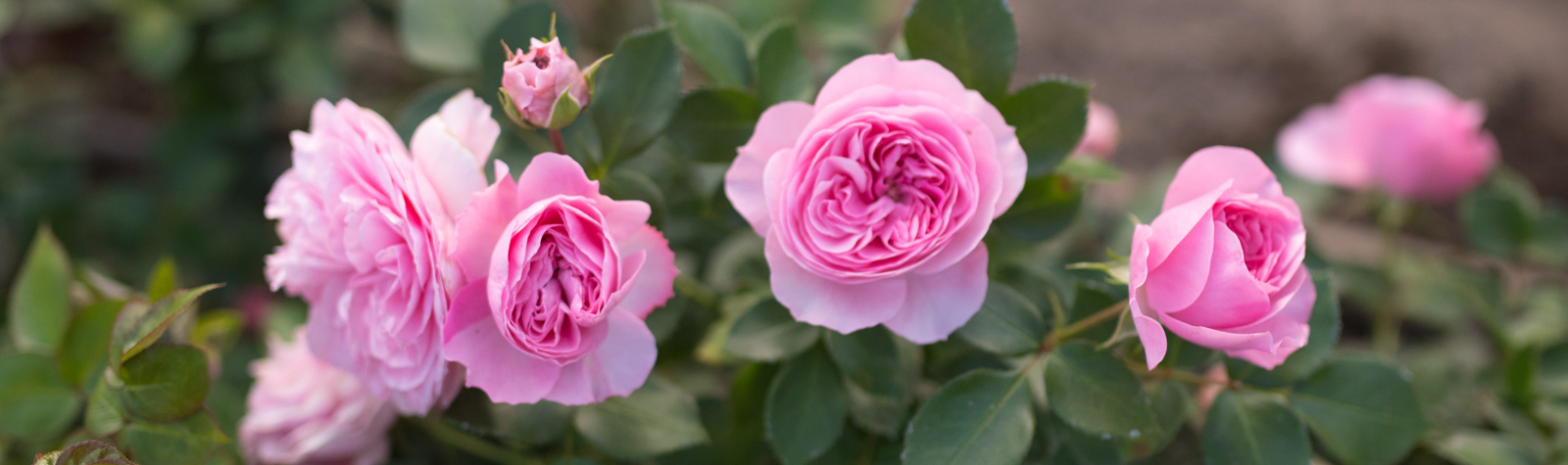 Las rosas del señor Austin
