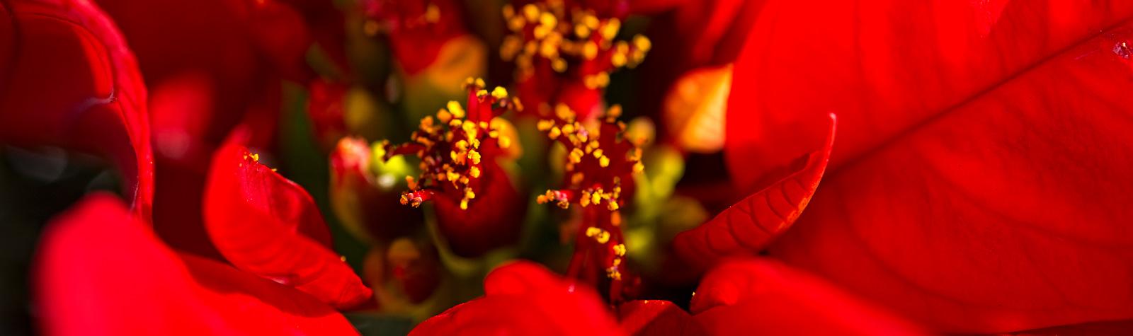Flor de Pascua: la estrella de los centros de mesa navideños