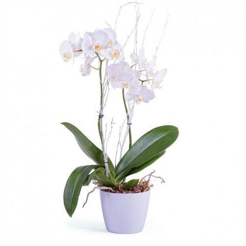 Orquídea blanca plantas para oficina