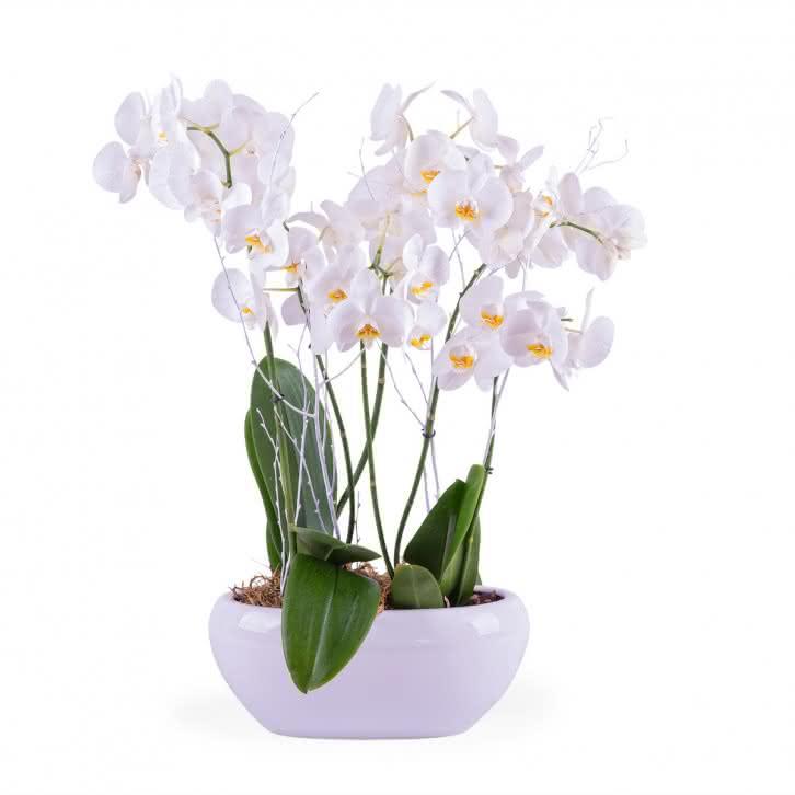 Planta de verano orquídea