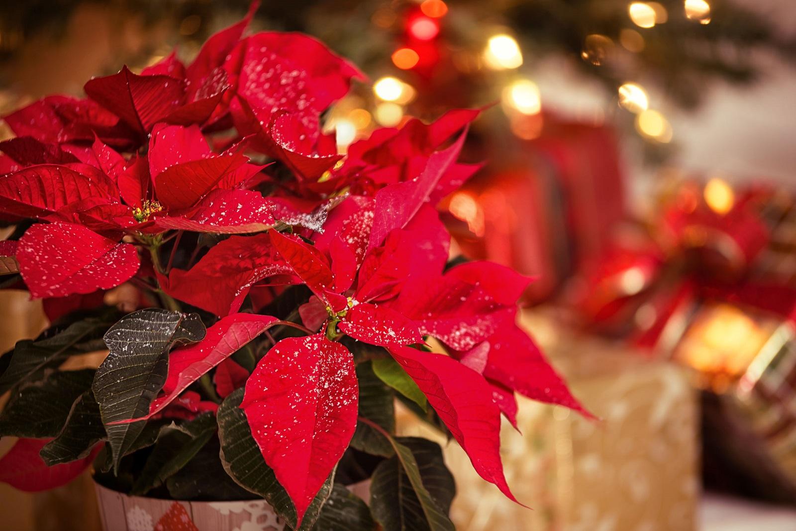 Plantas y flores para Navidad
