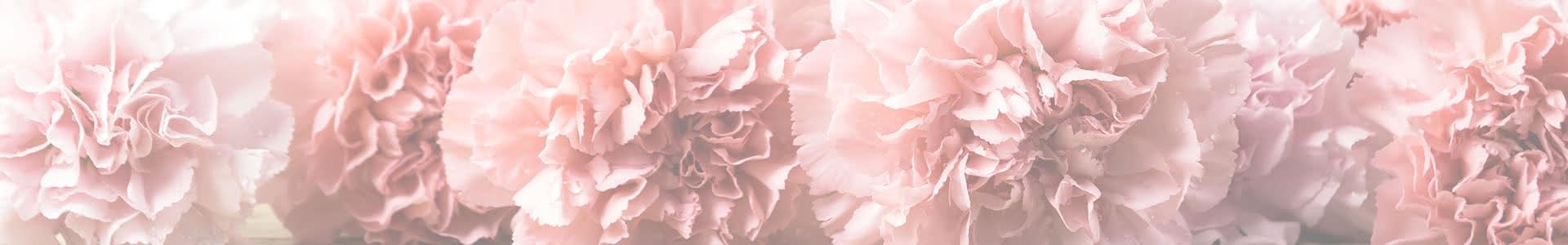 Clavel, guía básica para descubrir la flor de enero