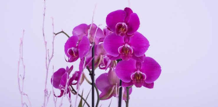 Guía para el cultivo de orquídeas en casa