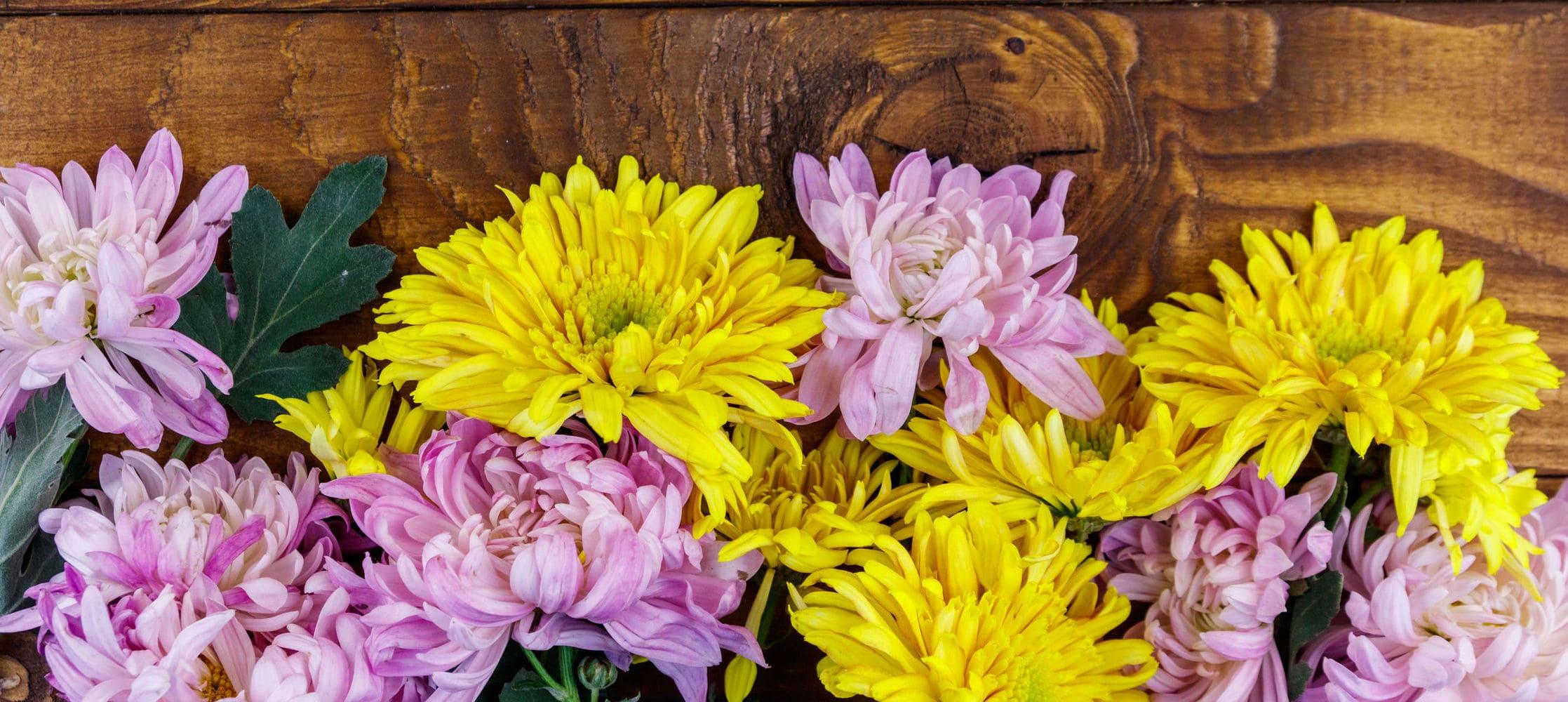 Flor de crisantemo: cuidados y simbolismo