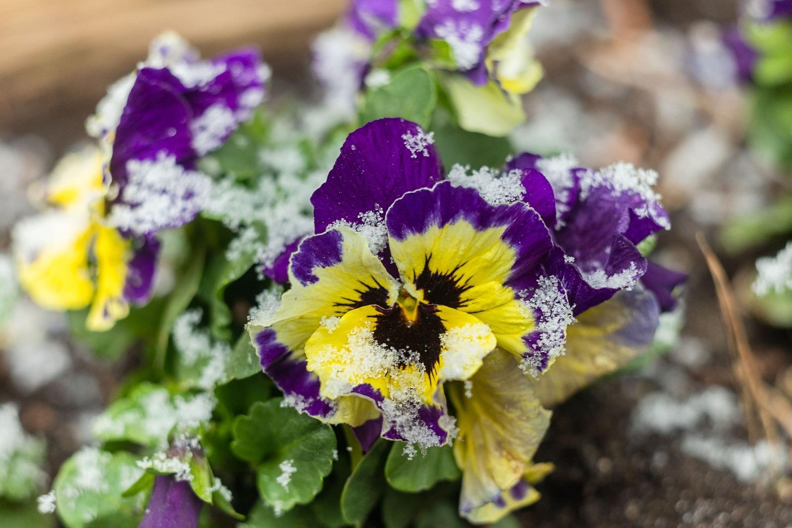 Pensamiento, una flor resistente al frío