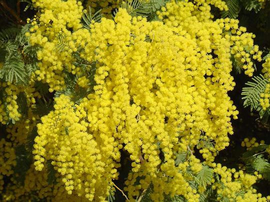 Mimosas La Flor De La Amistad Interflora