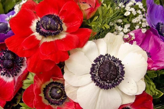 Resultado de imagen para Flor Anémona