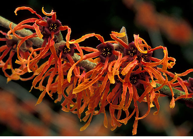 Hamamelis, la fragancia del invierno - Interflora
