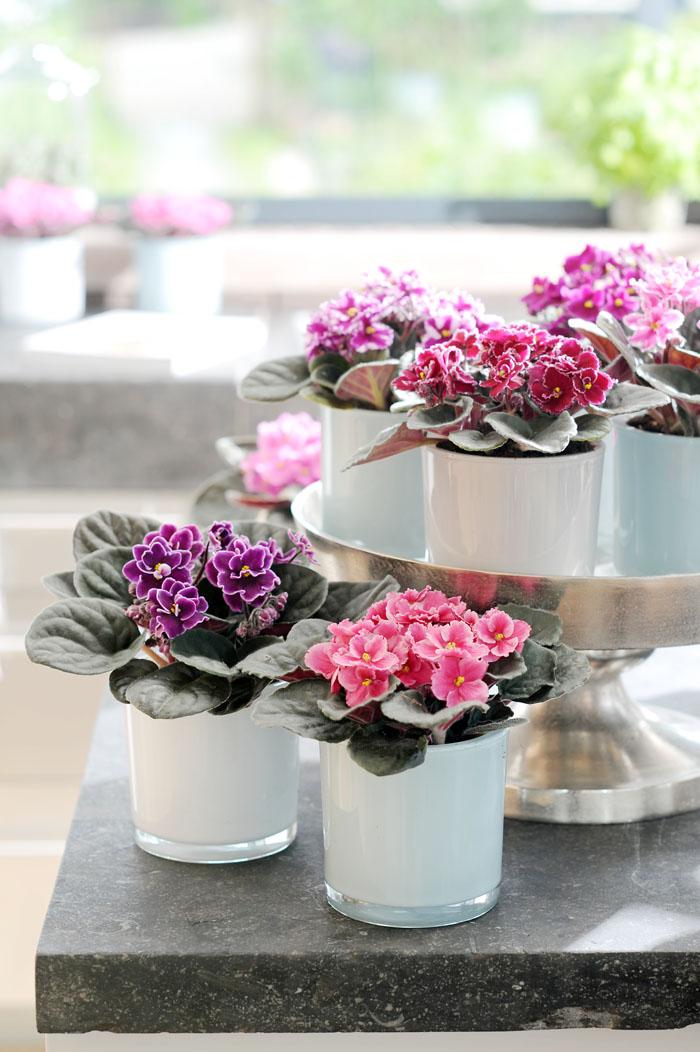 planta de violetas