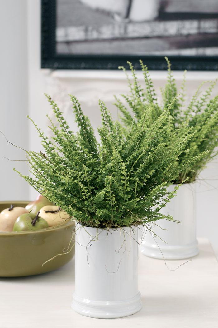 El helecho interflora for Plantas en agua interior