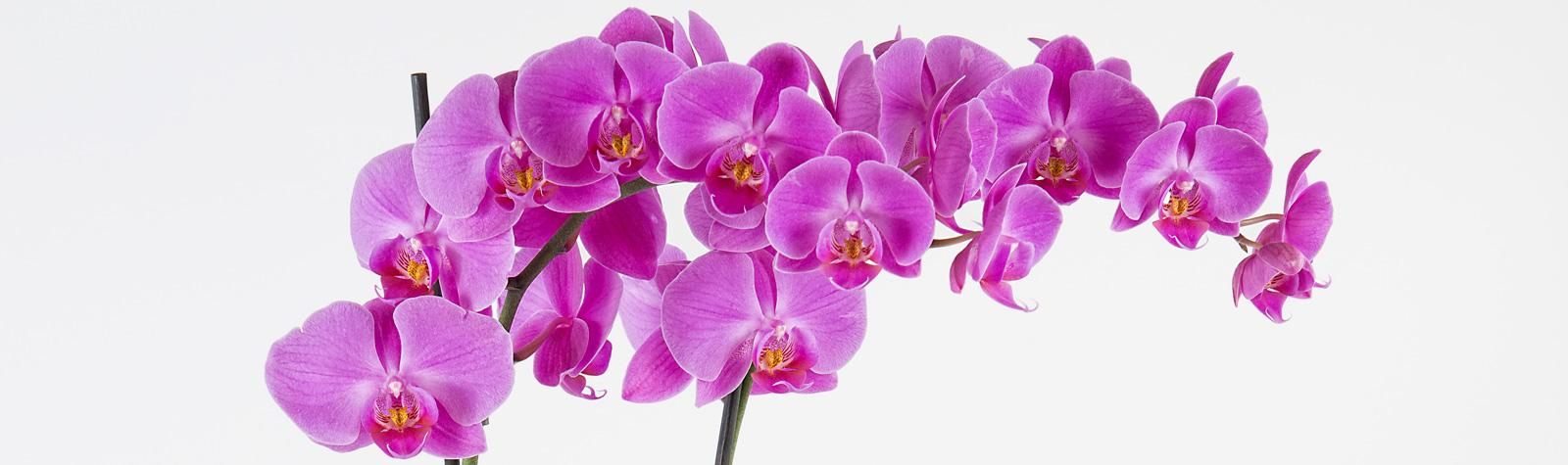 Los secretos de los diferentes tipos de Orquídeas
