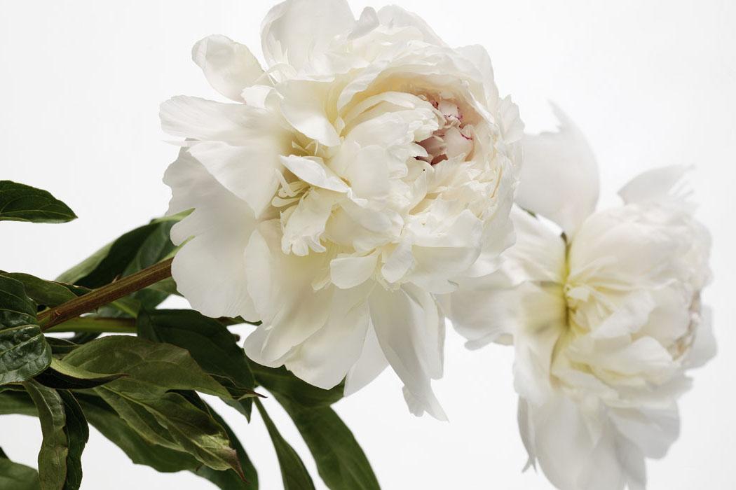 Las flores del mes: La Peonía