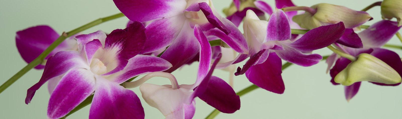 Guía para cuidar tus orquídeas en casa