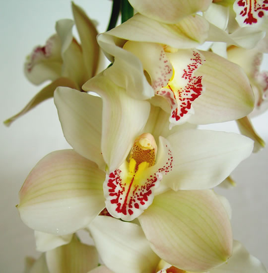 Related keywords suggestions for orquideas blancas - Rosas amarillas significado ...