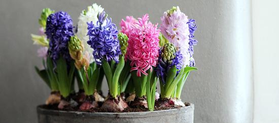Y se abrieron los jacintos interflora - Jacinto planta cuidados ...